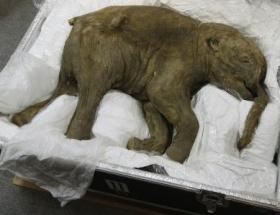 40 bin yaşındaki yavru fil