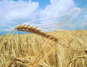 Buğday azalıyor pirinç artıyor
