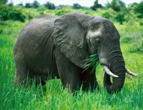 Sıcaklar yüzünden 77 fil telef oldu