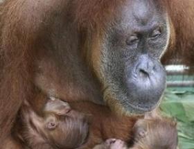 Kör orangutan çifte ikiz sürprizi