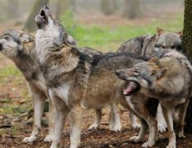 Aç kurtlar köylülere saldırdı