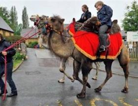 Arabayı bıraktılar,deve aldılar