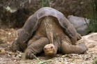 Yalnız Kaplumbağa George öldü