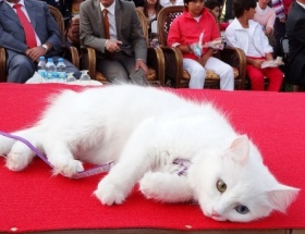 Van kedileri podyumda