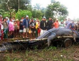 Dünyanın en büyük timsahı