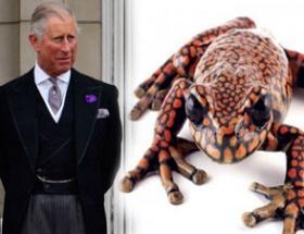 İşte gerçek kurbağa prens