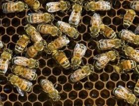 Rastgele ilaçlama arıları telef etti
