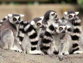 Lemurların nesli tehdit altında