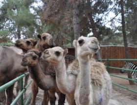 Kamyonet kasasında kaçak deve
