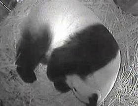 20 yaşındaki panda doğum yaptı