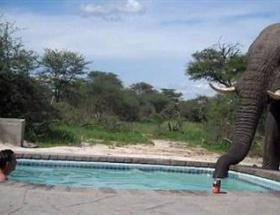Susuz kalan fil rekor kırdı