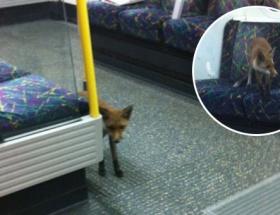 Metroda tilki sürprizi