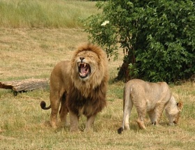 16 aslanı etle zehirledi