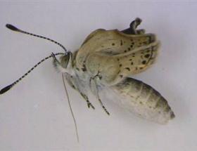 Fukuşima kelebekleri mutasyona uğrattı