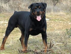 Rottweiler saldırısı can aldı