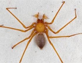 Yeni bir örümcek türü
