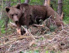 Anne ayı ve yavruları öldürüldü