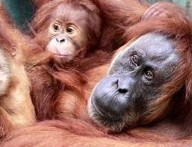 Endonezyada orangutan seferberliği