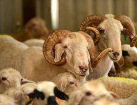 Kurbanlığa kötü muamele etin kalitesini düşürüyor