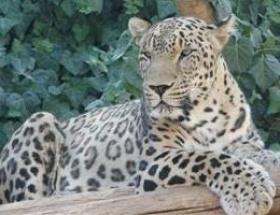 İnsan avlayan leopar alarmı