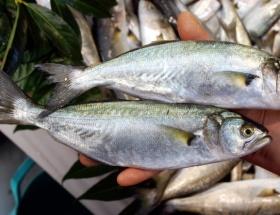Balıkçılardan lüfer müjdesi