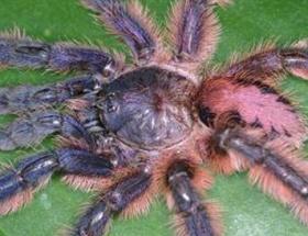 Yeni tarantula türü keşfedildi