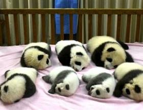 Yedi yavru ilk kez aynı karede