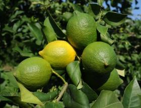 Limonun yarısı bu ilçeden geliyor