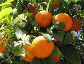 Vaşington portakal dalında 1,5 lira