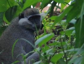 Firari maymun ortalığı karıştırdı