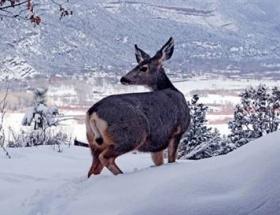 Kızıl geyikler için doğaya yem