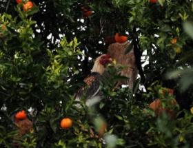 Tavuklar bile korkup ağaca tırmandı