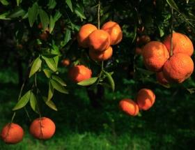 Bodrum mandalinasında hasat başladı