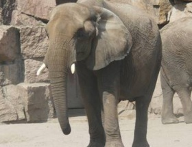 Fil, fotoğraf çeken turisti öldürdü