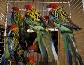 Valizden 29 papağan çıktı