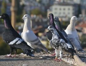 Güvercinleri çalmak için yeni yılı bekledi