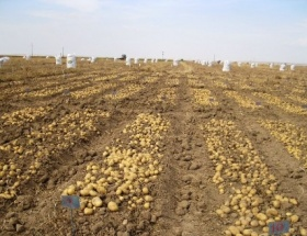 Patates yetiştiriciliği yaygınlaşıyor
