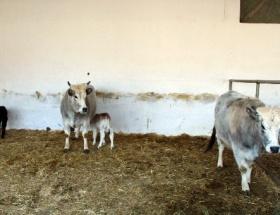 Dünyanın ilk klon inekleri anne oldu