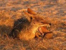 Bigada kuduz çakal dehşeti