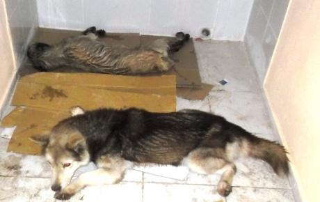 Osmaniyede 7 köpek zehirlendi