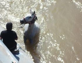 Asi Nehrine düşen at, kurtarıldı