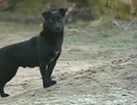 Kahraman köpek!