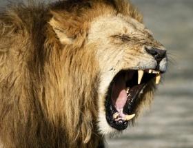 Sevişirken aslan parçaladı!
