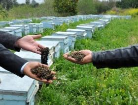 Milyonlarca arı telef oldu