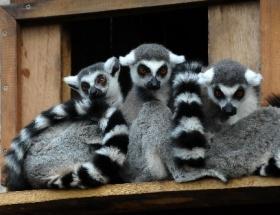 Lemurlar İzmiri çok sevdi