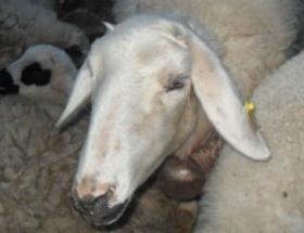 Çalınan koyunlar, feribotta bulundu