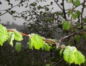 Yaprak açan fındık ağaçlarına kar yağdı