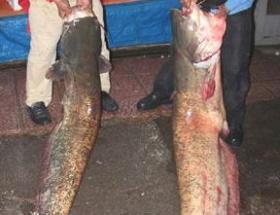 Barajdan dev balık çıktı