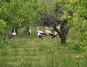 Baharın habercisi leylekler Bursa ovasını süslüyor