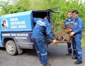 Yavru domuzları kurtarma operasyonu